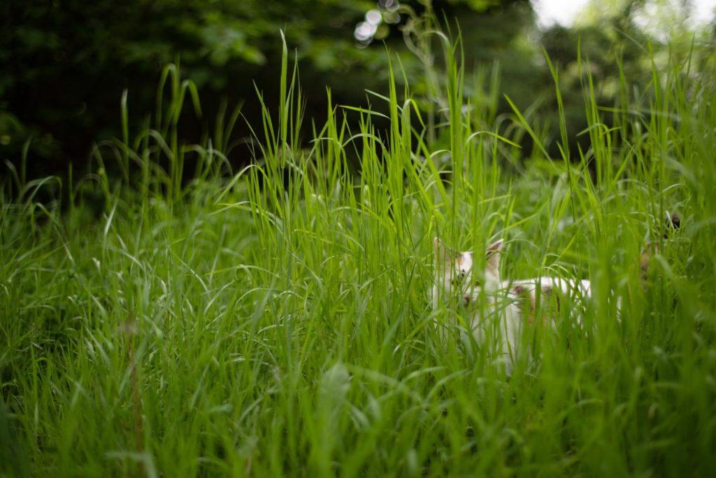 Le chat se cache dans les heutes herbes du jardin. Une de mes valeurs phares : la simplicité.